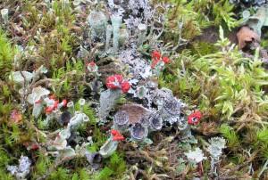 Beautiful lichens, Woodbine